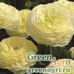 Лютик азиатский Ranunculus asiaticus Mache F1 cream Pelleted 1000