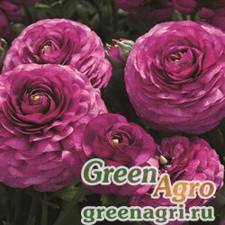 Лютик азиатский Ranunculus asiaticus Mache F1 purple Pelleted 1000