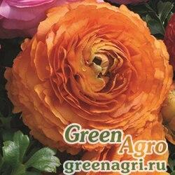 Лютик азиатский Ranunculus asiaticus Magic F1 orange Pelleted 1000