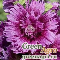 Мальва Штокроза розовая Alcea rosea annua Spring Celebrities Purple Raw 1000