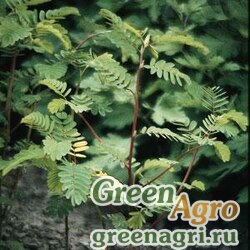 Мимоза стыдливая Mimosa pudica TOUCHY TINA GREEN Cleaned 10