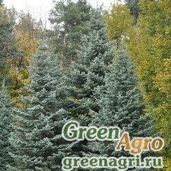 Пихта одноцветная (Abies concolor) 10 гр.