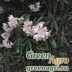 Рододендрон каролинский малый (Rhododendron carolinianum var.minor) 0.1 гр.