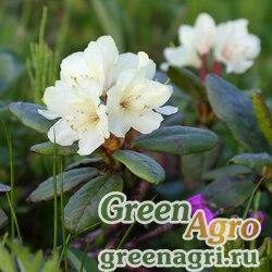 Рододендрон золотистый (Rhododendron аureum) 0.5 гр.