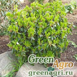 Рододендрон гелиочешуйчатый (Rhododendron heliolepis) 0.2 гр.