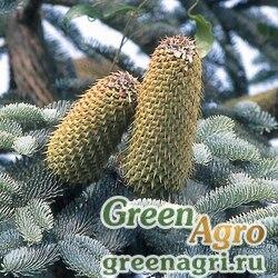 Пихта благородная ф. сизая (Abies procera f.glauca ) 10 гр.