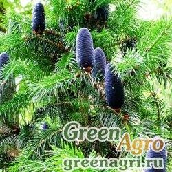 Пихта гималайская (Abies pindrow) 30 гр.