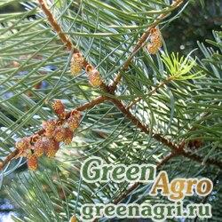 "Пихта одноцветная Лау (Abies concolor f. lowiana) ""CA"" 20 гр."