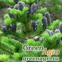 Пихта сибирская (Abies sibirica) 40 гр.