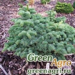"""Пихта великолепная Шастенса (Abies magnifica var. shastensis) """"CA"""" 20 гр."""