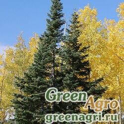 """Пихта шершавоплодная аризонская (Abies lasiocarpa ssp. arizonica) """"Apache NF AZ"""" 10 гр."""