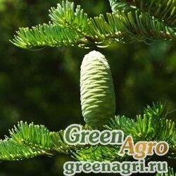 Пихта цельнолистная (Abies holophylla) 20 гр.