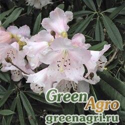 Рододендрон каролинский  (Rhododendron carolinianum ) 0,5 гр.