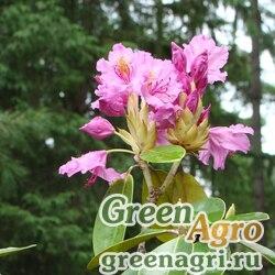 Рододендрон катевбинский (Rhododendron catawbiense) 1 гр.