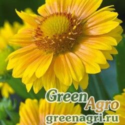 Гайлардия грандифлора Аризона Эприкот (1уп-1000шт)