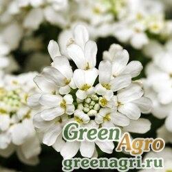 Иберис вечнозеленый Вайтаут 250шт