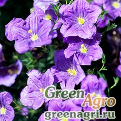 "Семена Нирембергия прутьевидная (Nierembergia scoparia) ""Robe"" (white) Raw 1000 шт."