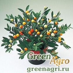 Паслен ложноперечный Solanum pseudocapsicum Thurino Light Raw 1000