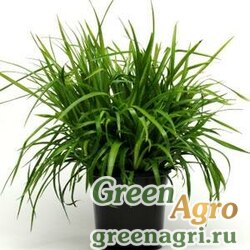 Ожика лесная Luzula sylvatica STARMAKER GREEN Multi-pelleted 1000
