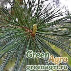 Сосна гибкая (Pinus flexilis) 3 гр.