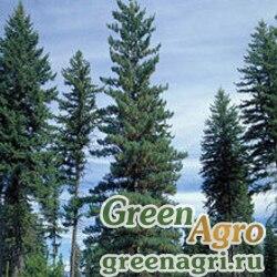 """Сосна веймутова горная (Pinus monticola) """"WA"""" 10 гр."""
