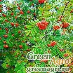 Рябина луристанская (Sorbus luristanica) 30 гр.