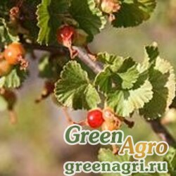 Смородина восковая (Ribes cereum) 5 гр.