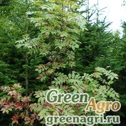 Рябина сибирская (Sorbus sibirica) плоды 50 гр.