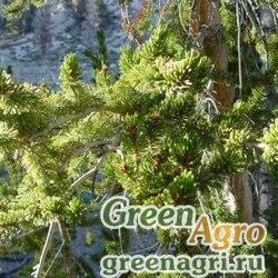 Сосна долговечная (Pinus longaeva) 0,5 гр.