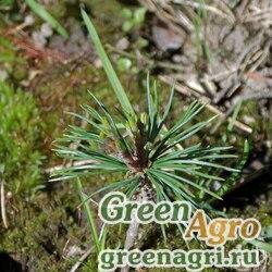 Сосна белокорая (Pinus albicaulis) 5 гр.