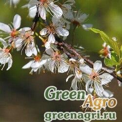 Слива американская (Prunus americana) 50 гр.