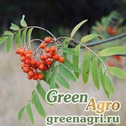 Рябина обыкновенная (Sorbus aucuparia) 50 гр.