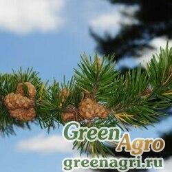 Сосна Банкса (Pinus banksiana) 10 гр.