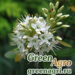 Рододендрон мелкоцветковый (Rhododendron micranthum) 0.5 гр.