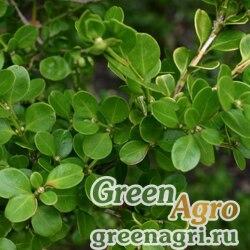 Самшит мелколистный китайский (Buxus microphylla var. sinica) 15 гр.