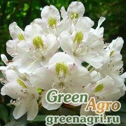Рододендрон крупнейший (Rhododendron maximum) 2 гр.