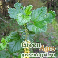 Смородина точечная (Ribes punctatum) 0.8 гр.