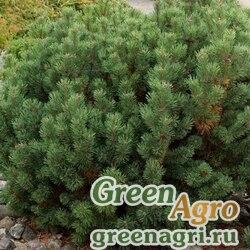 Сосна горная карликовая (Pinus mugo pumilo) 5 гр.