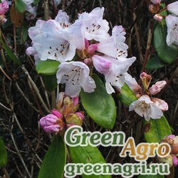 Рододендрон колокольчиковый (Rhododendron campanulatum) 0.4 гр.