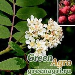 Рябина ситхинская (Sorbus sitchensis) 3 гр.