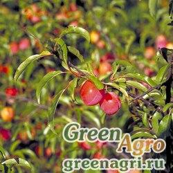 Слива узколистная (Prunus angustifolia) 5 гр.