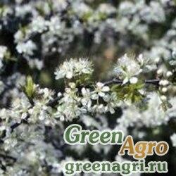 Слива зонтичная (Prunus umbellata) 15 гр.