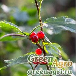 Смородина альпийская (Ribes alpinum) 1.5 гр.