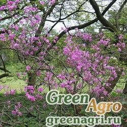 Рододендрон сетчатый (Rhododendron reticulatum) 0.1 гр.