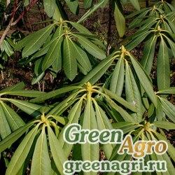 Рододендрон крупнолистный (Rhododendron macrophyllum) 0.5 гр.
