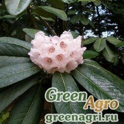Рододендрон Фальконе (Rhododendron falconeri) 0.18 гр.