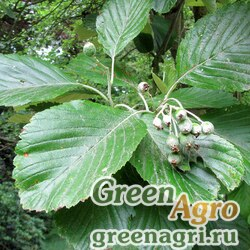 Рябина круглолистная (Sorbus aria) 5 гр.