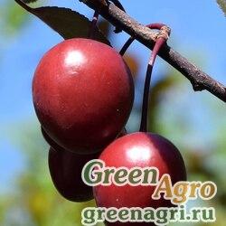 Слива растопыренная/Алыча (Prunus divaricata) 300 гр.