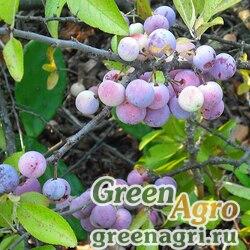 Слива приморская (Prunus maritima) 20 гр.