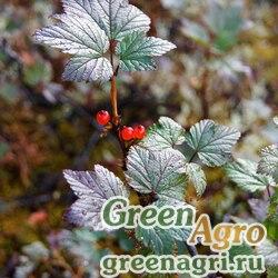 Смородина печальная (Ribes triste) 3 гр.